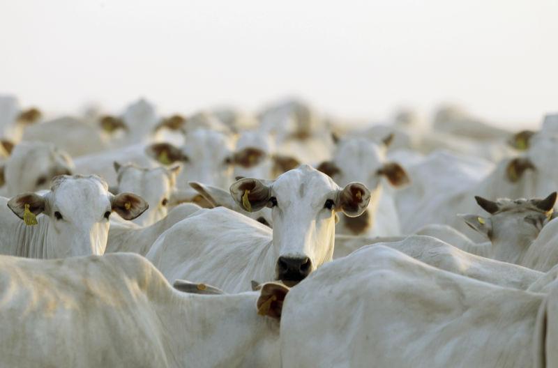© Reuters. Rebanho em fazenda de Deciolândia, MT