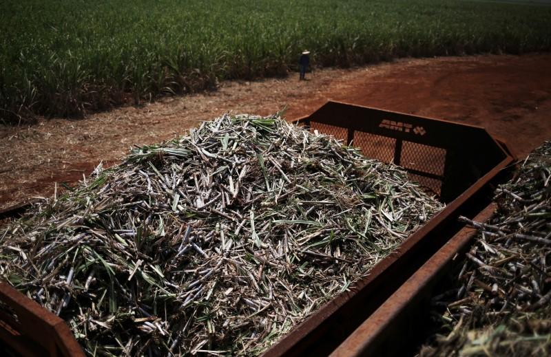 © Reuters. Cana-de-açúcar em Ribeirão Preto (SP)