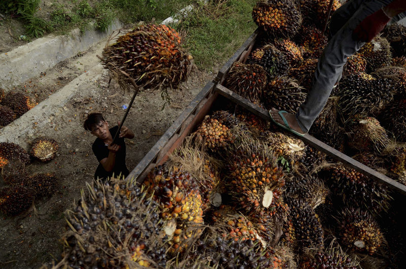 © Reuters. A worker loads palm fruit at a palm oil plantation in North Mamuju regency, West Sulawesi province