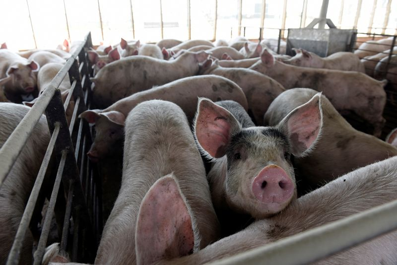 Piglets aborted, chickens gassed as pandemic slams meat sector