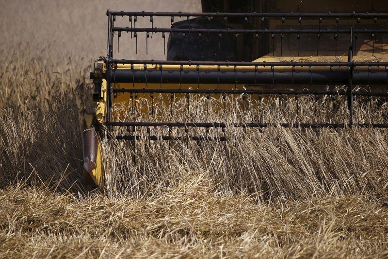 © Reuters. FOTO DE ARCHIVO. Una cosechadora recoge triticale, un híbrido de trigo y centeno, en un campo en Slupca, cerca de Poznan, Polonia