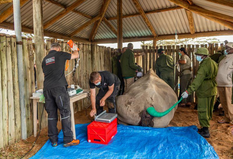 © Reuters. Los científicos esperan revivir al casi extinto rinoceronte blanco del norte en Kenia
