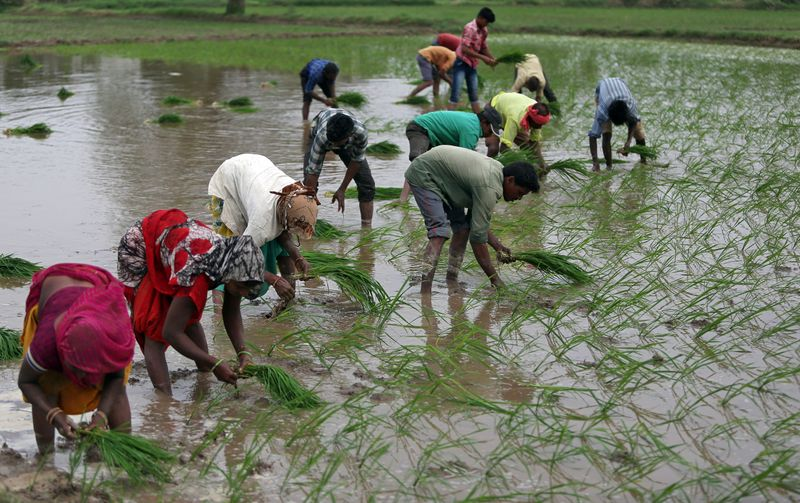 © Reuters. Farmers plant saplings in a rice field on the outskirts of Ahmedabad