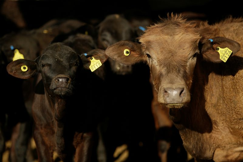 © Reuters. Certified beef cattle are pictured at Rancho Estrada in the town of San Agustin