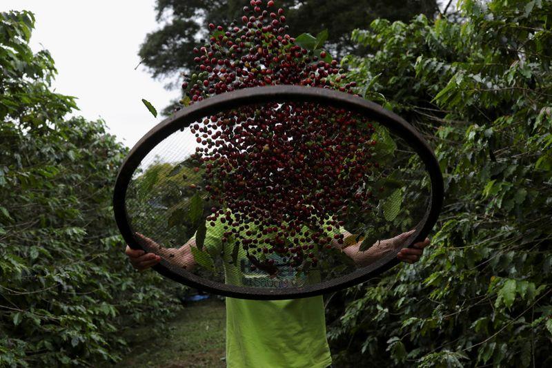 Safra de café do Brasil deve cair 22,6% em 2021; associação vê 'erro' da Conab